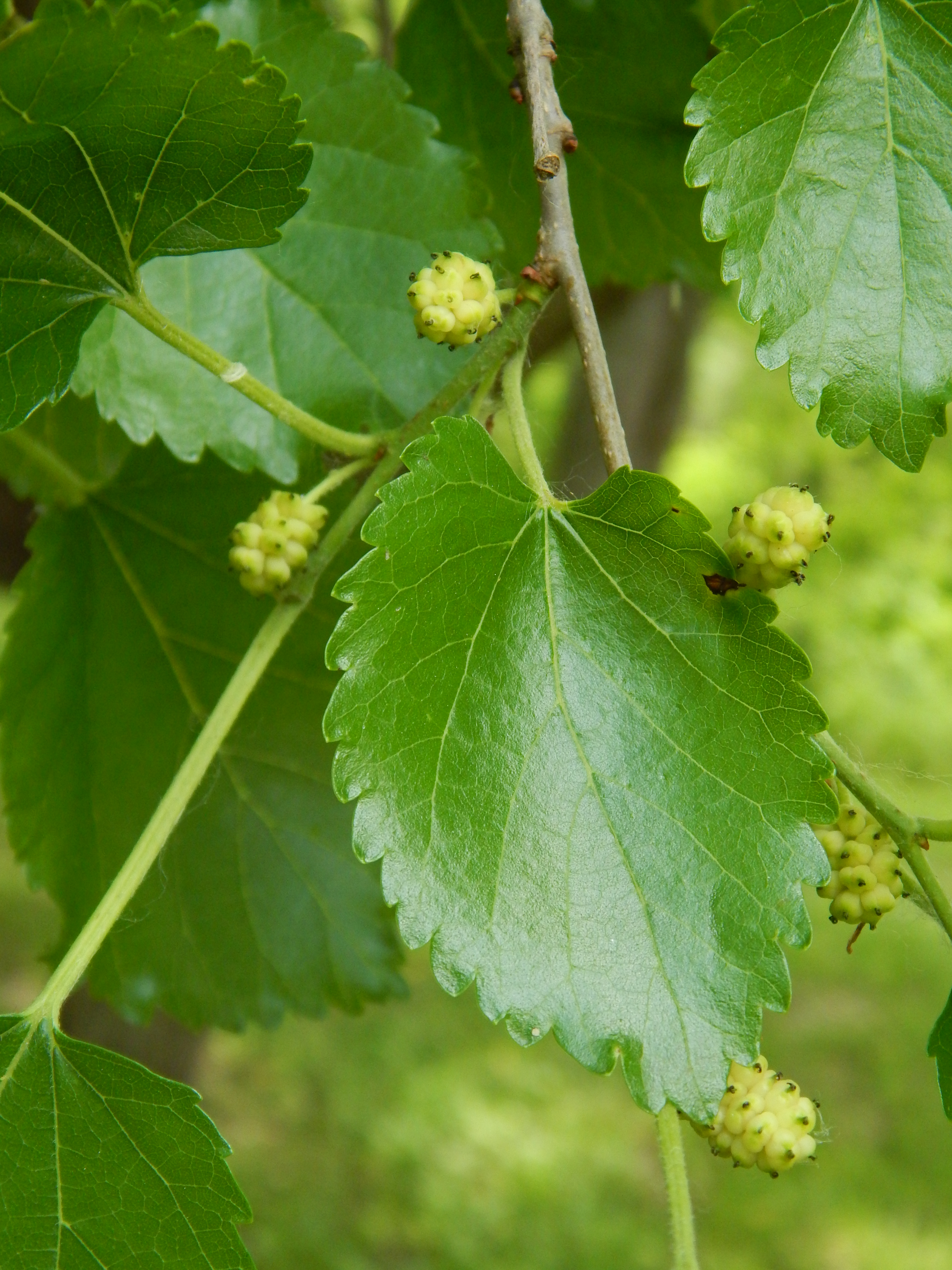 Pressed Plant – Mulberry