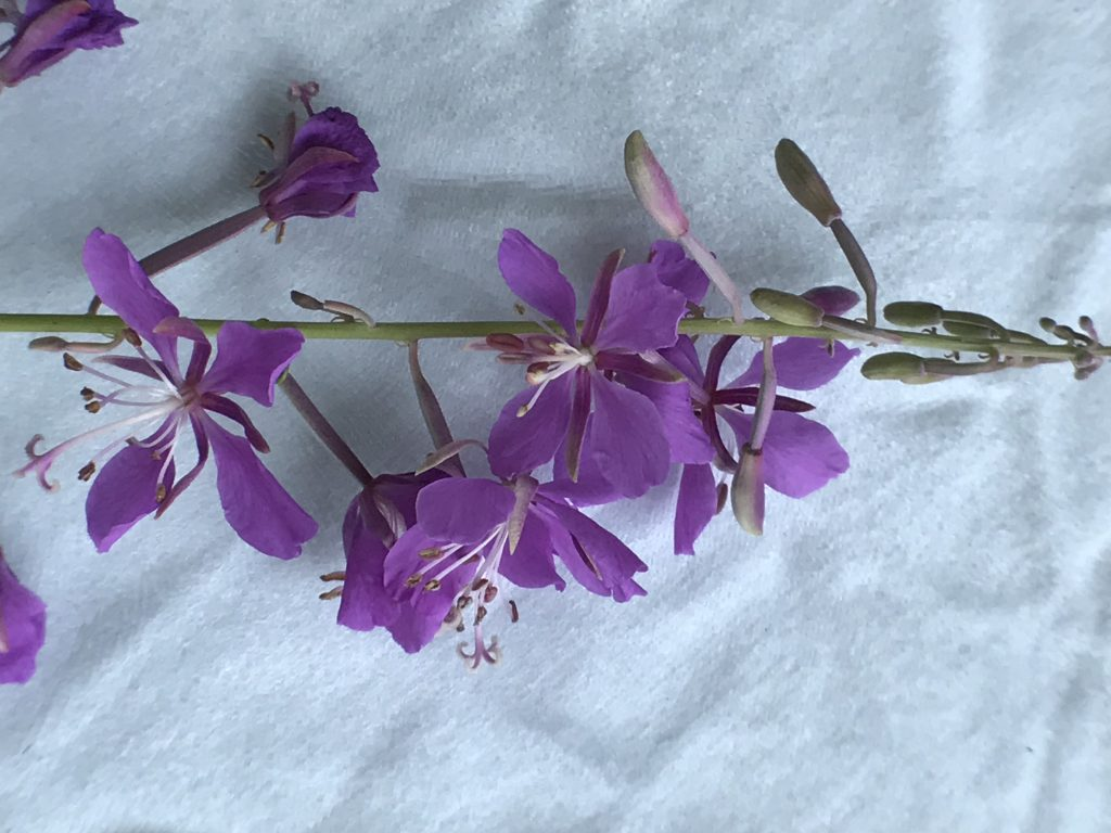Fireweed Dissection by MVS