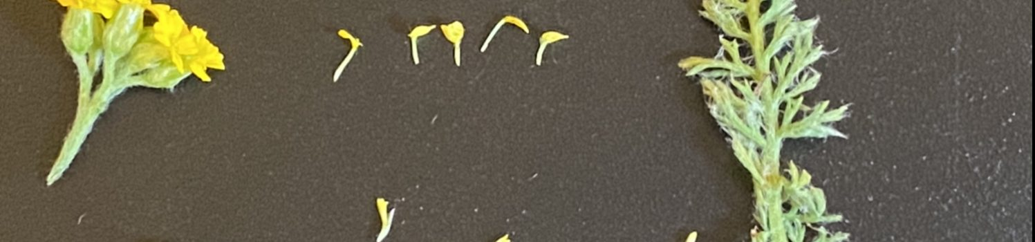 Plant Dissection- Yarrow
