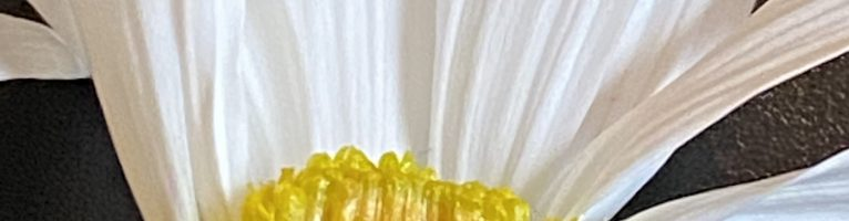Dissection- Marguerite Argyranthemum frutescens, L.  Asteraceae